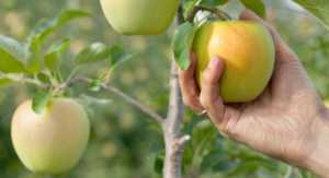 Close-up shot of Male hand picking green apple from tree