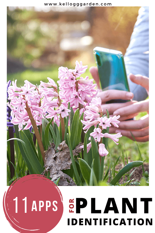 use smartphone to take photo of pink flower