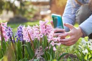 using smartphone to take a photo of pink and purple flowers