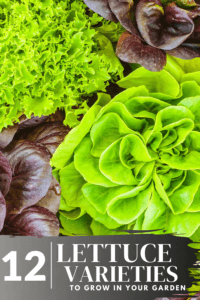 green and purple lettuce