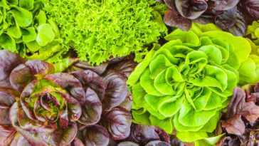 Various crops of fresh green and red lettuce