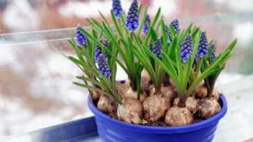 Grape hyacinth in a blue flower pot