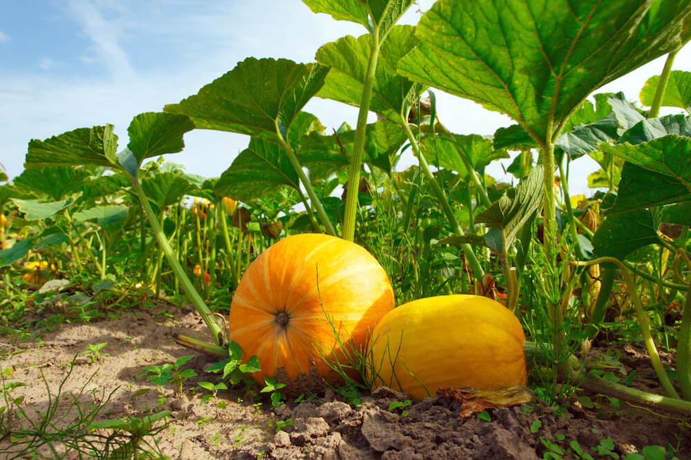 2 pumpkins growing in the garden.