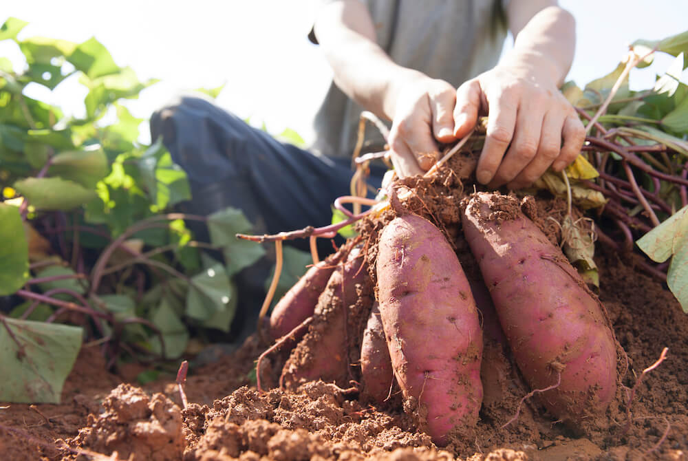 man harvesting sweet potatoes