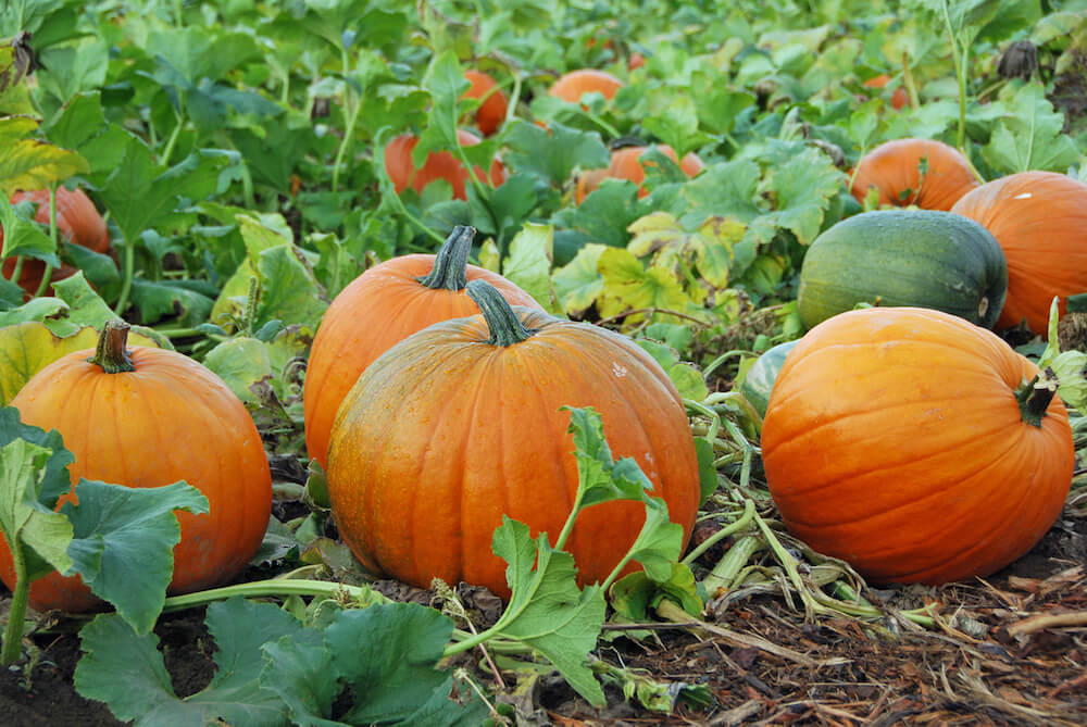 Unpicked pumpkins growing in pumpkin patch