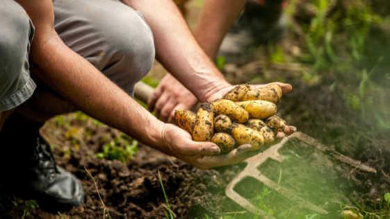 Senior Man Picking Up Homegrown Potato.