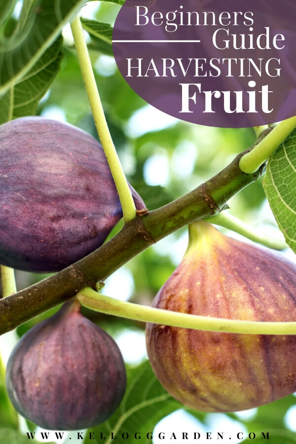 """Fig tree with text, """"Beginners Guide to harvesting fruit"""""""