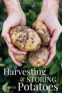 """Man holding freshly harvested potatoes with text, """"Harvesting and storing your potatoes"""""""