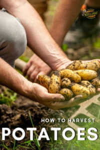 """Man holding harvested potatoes with pitch fork in the background with text, How to harvest potatoes"""""""