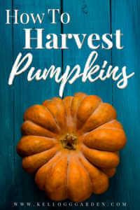 "Pumpkin on blue, wooden background with text, ""How to harvest pumpkins"""