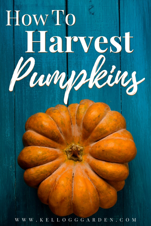 """Pumpkin on blue, wooden background with text, """"How to harvest pumpkins"""""""