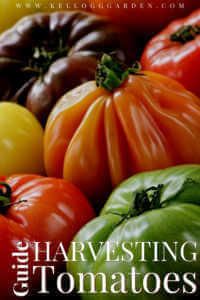 """Heirloom tomatoes with text, """"Guide to harvesting tomatoes"""""""