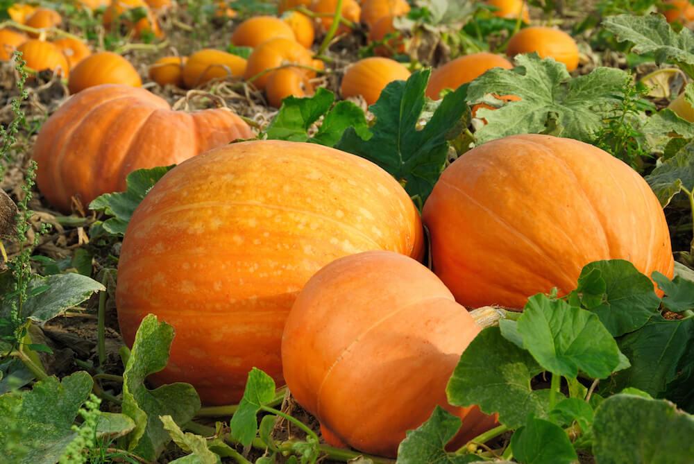 Pumpkin patch with lots of large, orange pumpkins.