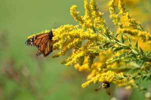orange and black monarch on a yellow goldenrod