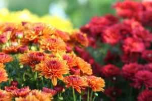 Orange and Red Chrysanthemum