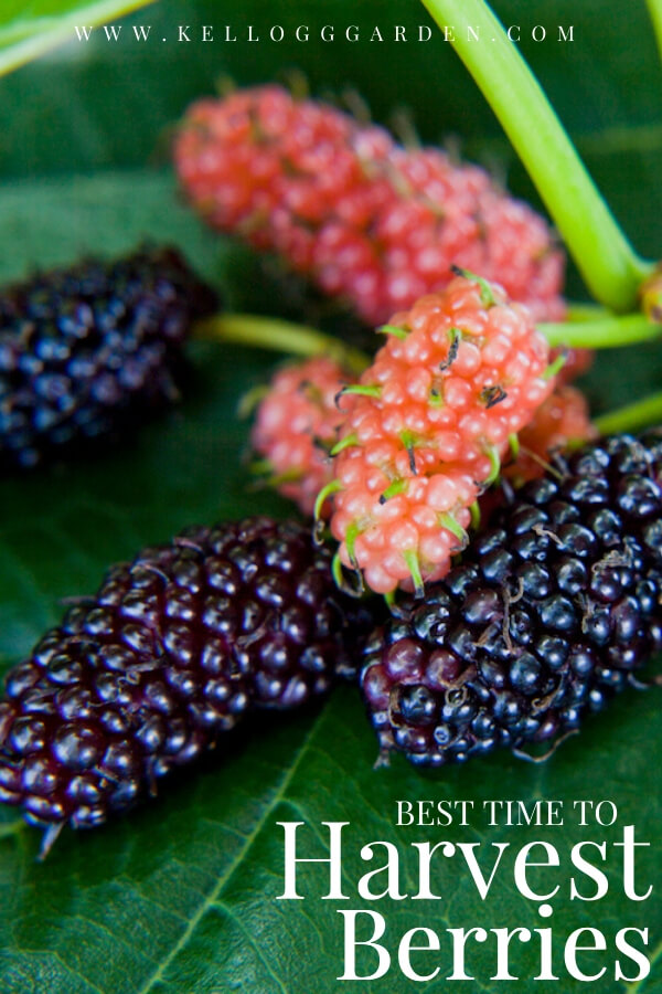 "Black and pink mulberries sitting on a leaf. with text, ""Best time to harvest berries"""
