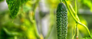one cucumber growing close up in a greenhouse