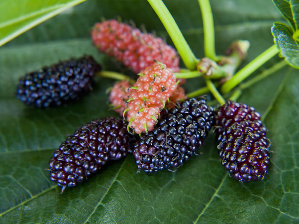Black and pink mulberries sitting on a leaf.