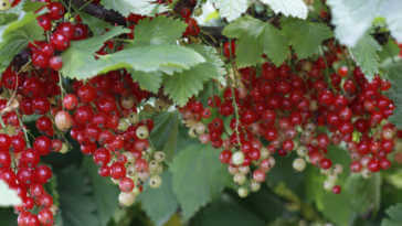 Red currant bush.