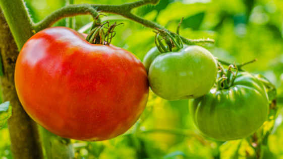 A bunch of three red and green tomatoes growing in organig farming garden. Scientific name: Solanum lycopersicum (A bunch of three red and green tomatoes on the vine.