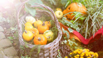 Many small pumpkins in the basket. Autumn harvest or Halloween background.