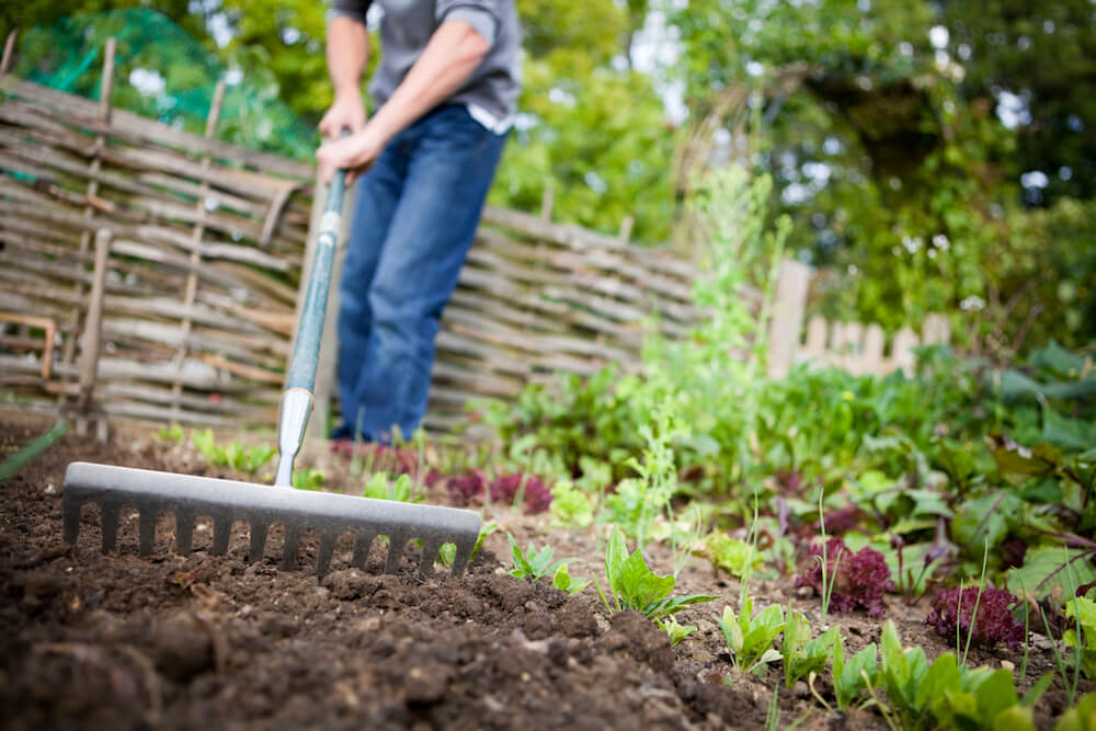 Gardener using metal rake to smooth out a vacated patch of earth on a raised bed in a vegetable garden prior to planting new seeds.