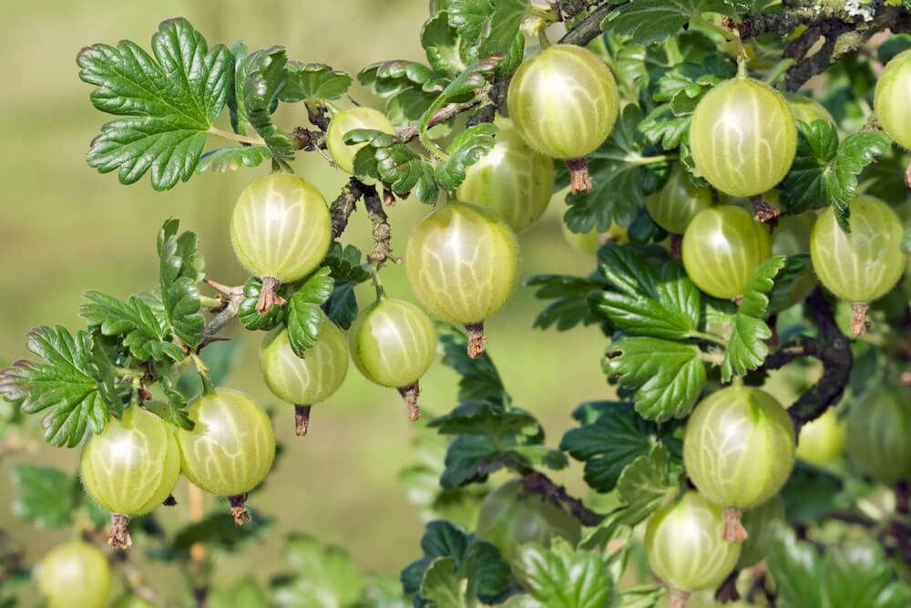Close up of a gooseberry bush filled with gooseberries.