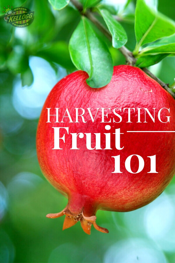 """Pomegranate hanging on tree with text, """"Harvesting fruit 101"""""""