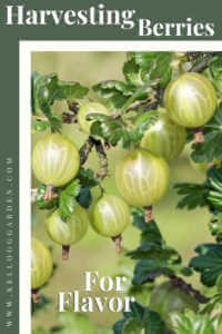 """Close up of a gooseberry bush filled with gooseberries with text, """"Harvesting berries for flavor"""""""