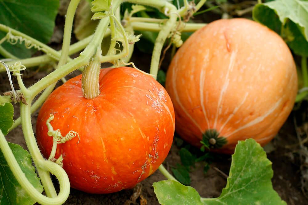 2 small orange pumpkins growing.