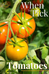 """Man grabbing orange and yellow tomatoes on the vine., with text"""" When to pick tomatoes"""""""