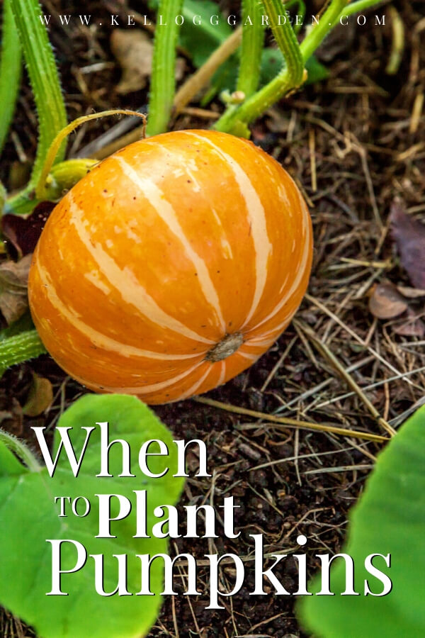 """Orange pumpkin growing with text, """"When to plant pumpkins"""""""