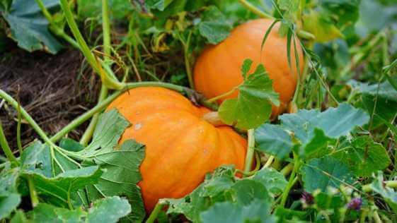 two orange pumpkins on the ground