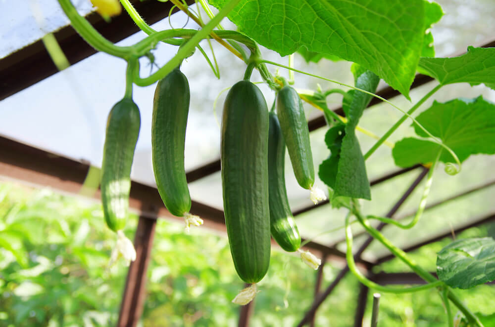 Close up of green cucumbers in the greenhouse.