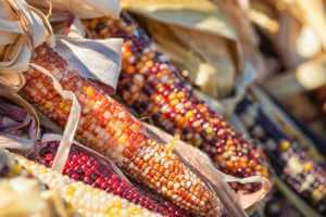 indian orange, yellow, and red corn