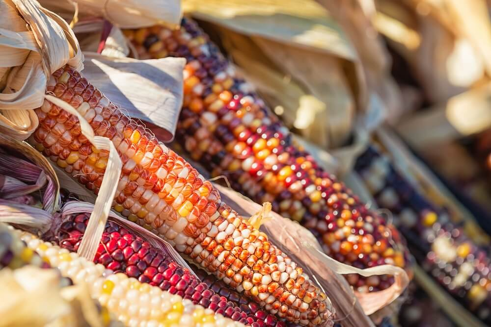 indian orange, yellow, and red corn