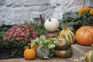 orange, green, yellow, and white pumpkins surrounded by potted pink mums
