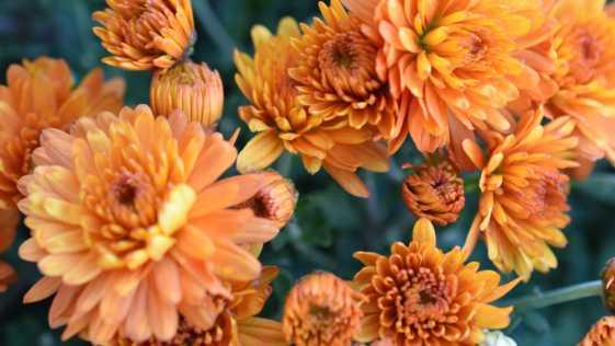 orange mums in the garden