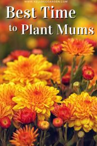 orange and yellow mums