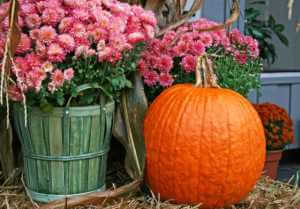 pink mums and orange pumpkin