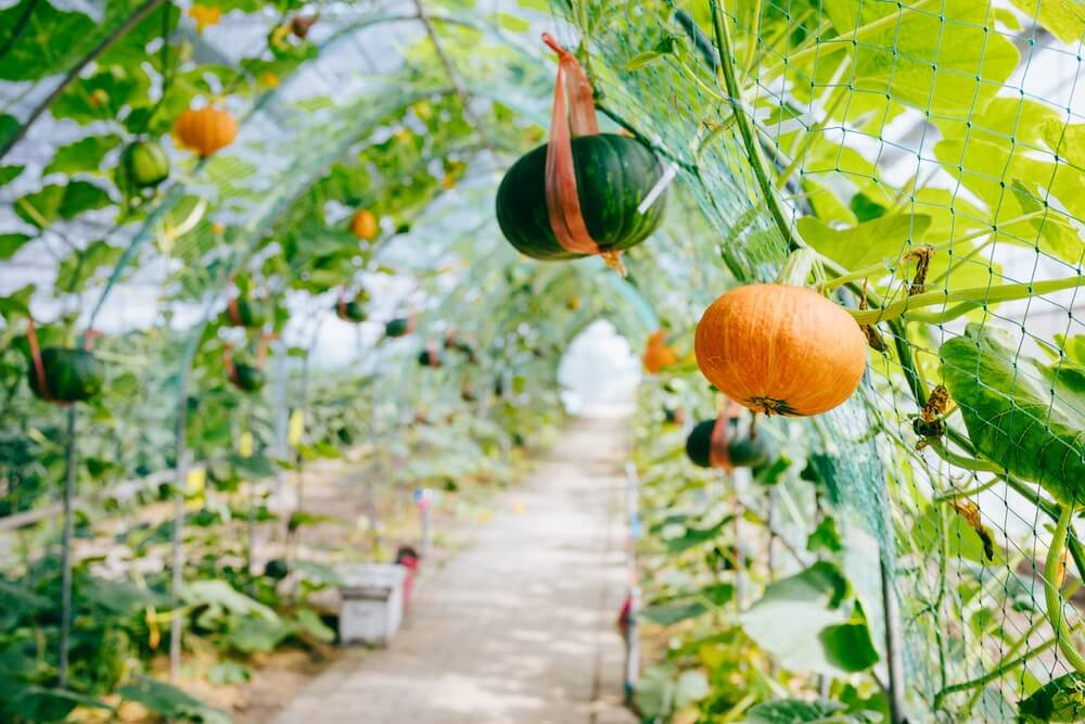 one orange and green pumpkin growing vertically