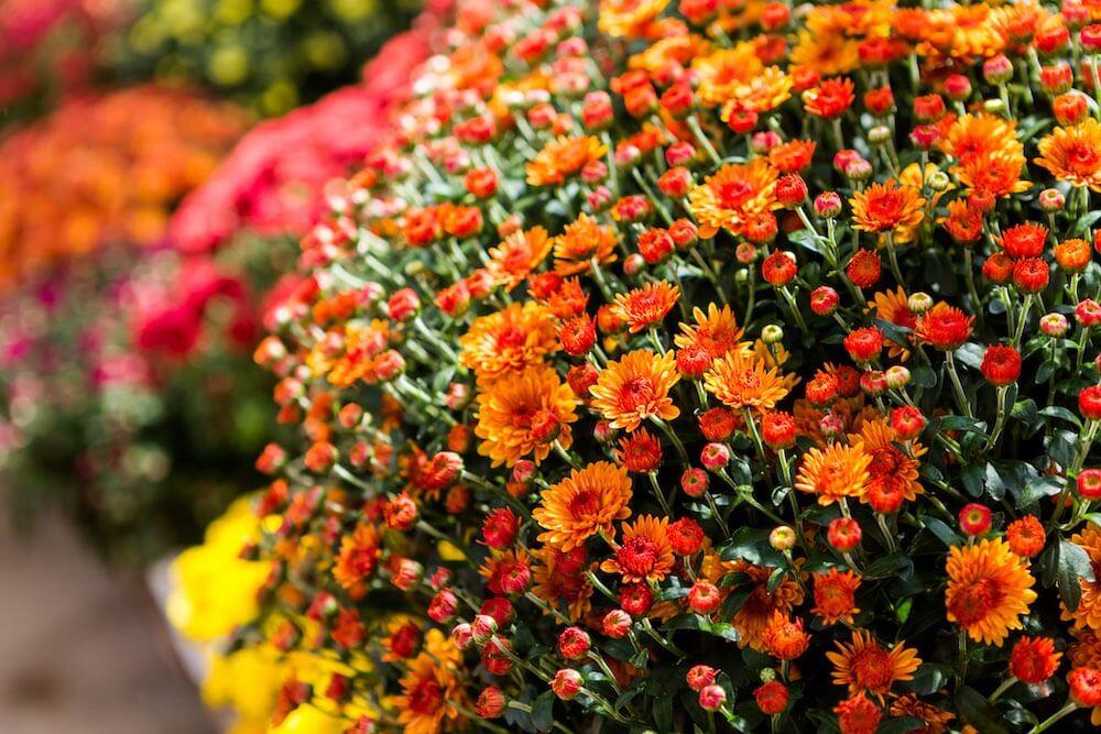 orange mums, dark pink mums, yellow mums in the garden
