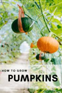 green and orange pumpkin growing vertically