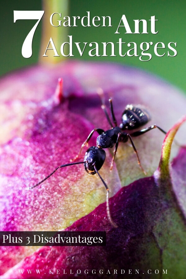 Ant Crawling on pink flower 7 Garden aNt advantages plus 3 disadvantages""