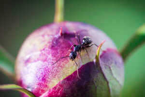 Ant Crawling on pink flower.