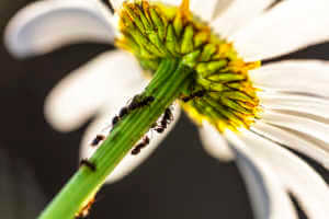 Ants on a dandelion flower.