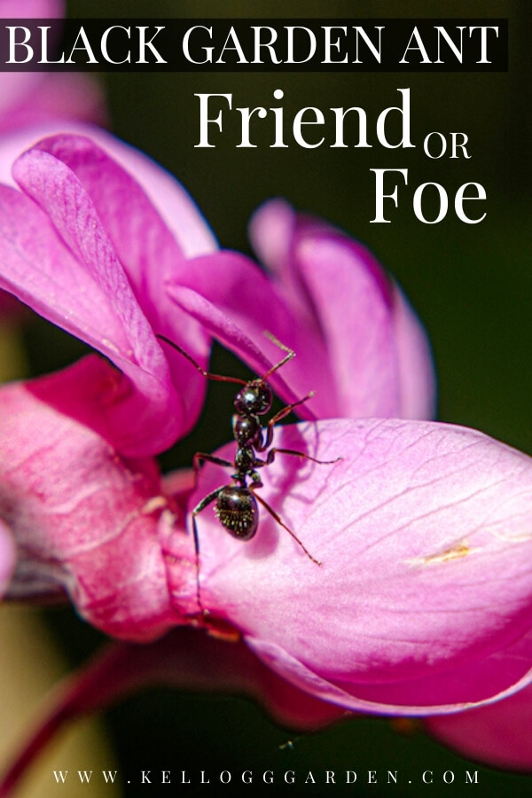 "Black ant on pink flower with text, ""Black Garden Ant, Friend or Foe?"""