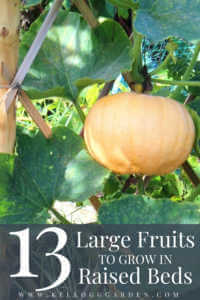 "A pumpkin growing in a raised bed with text, ""13 large fruits to grow in raised beds"""