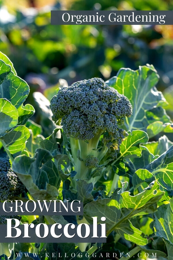 "Broccoli growing in the garden with text, ""organic gardening, growing broccoli"""