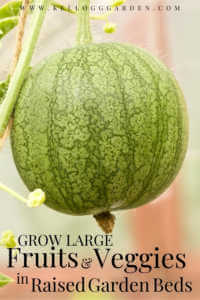 """Watermelon growing in raised bed with text, """"Grow large fruits and veggies in raised garden beds"""""""